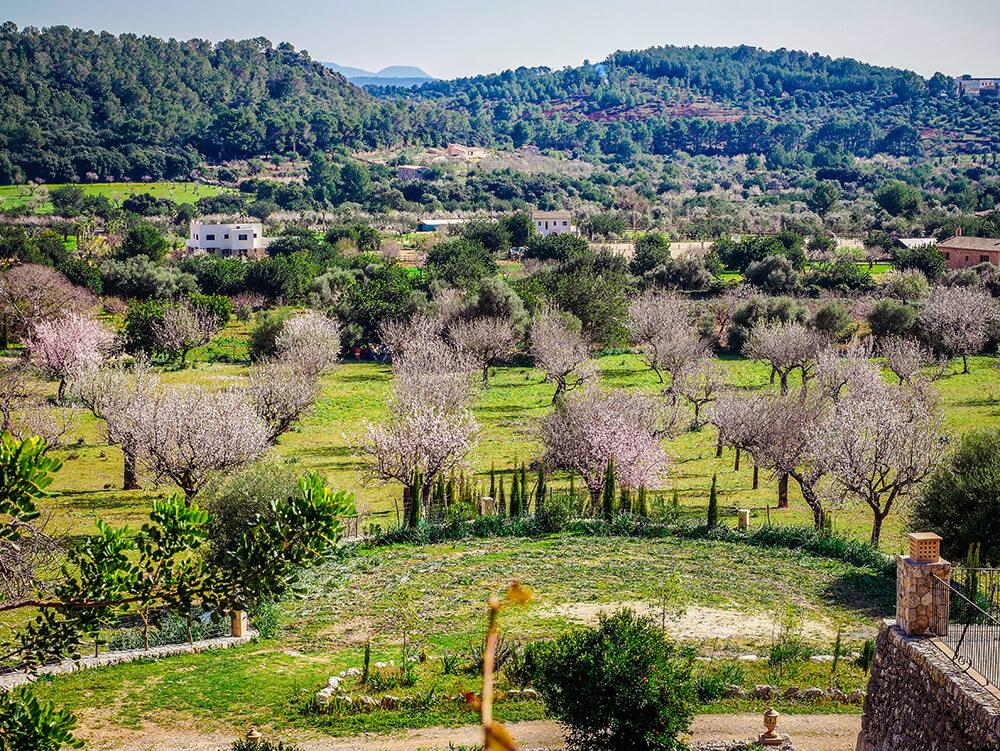 Mallorca-Mandelbluete-Fruehling-1