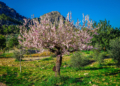 Mallorca-Mandelbluete-Fruehling-10-120x86
