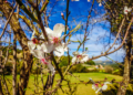 Mallorca-Mandelbluete-Fruehling-17-120x86