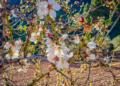 Mallorca-Mandelbluete-Fruehling-18-120x86