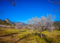 Mallorca-Mandelbluete-Fruehling-20-120x86