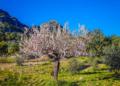 Mallorca-Mandelbluete-Fruehling-21-120x86