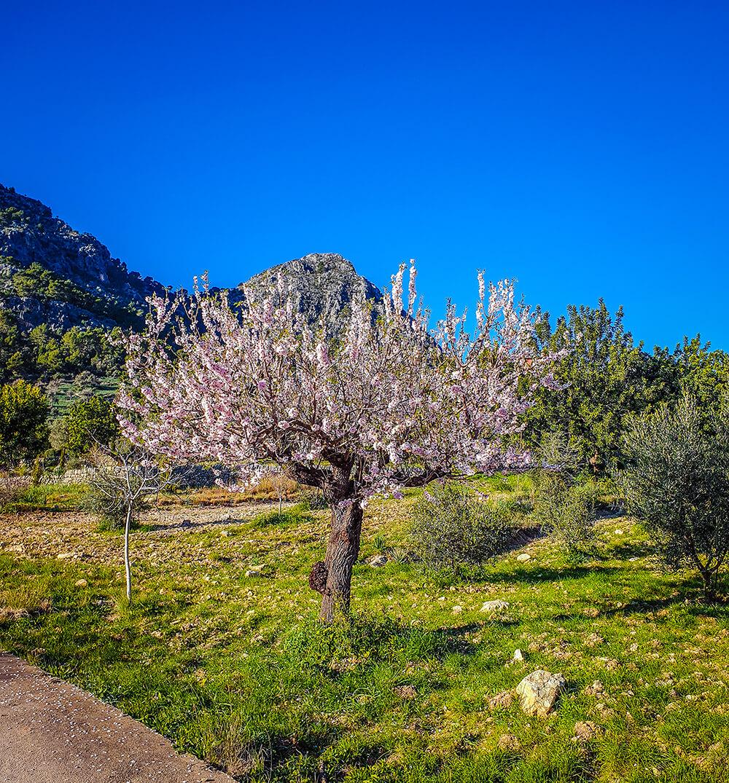 Mallorca-Mandelbluete-Fruehling-21