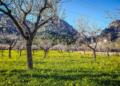 Mallorca-Mandelbluete-Fruehling-23-120x86