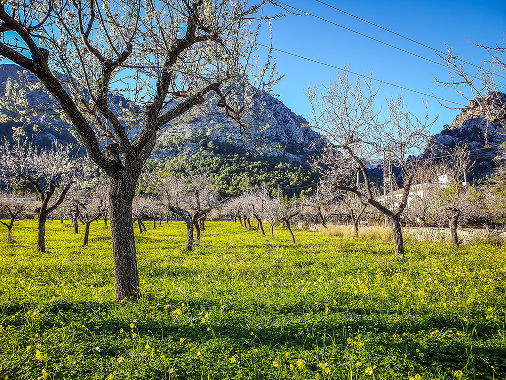 Mallorca-Mandelbluete-Fruehling-23