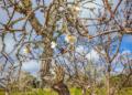 Mallorca-Mandelbluete-Fruehling-26-120x86