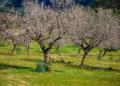 Mallorca-Mandelbluete-Fruehling-4-120x86