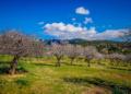 Mallorca-Mandelbluete-Fruehling-5-120x86