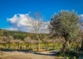 Mallorca-Mandelbluete-Fruehling-6-120x86
