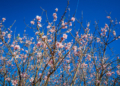 Mallorca-Mandelbluete-Fruehling-9-120x86