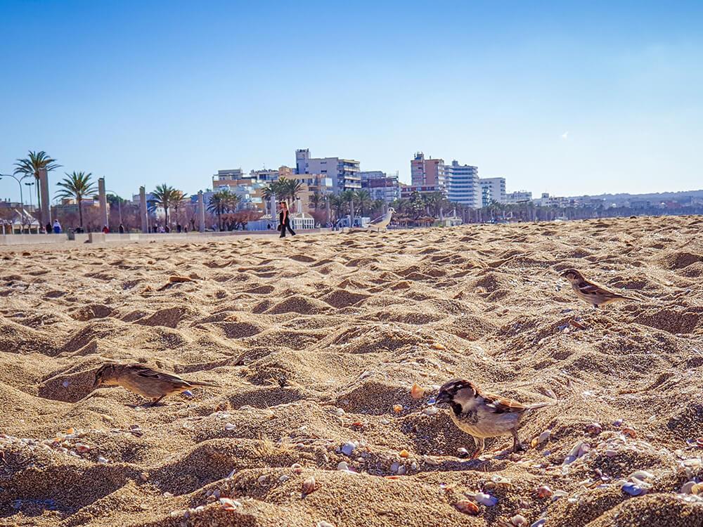 Mallorca-Hunde-Winter-Strand-Can-Pastilla-Spatzen-2