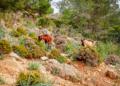 Mallorca-Cala-Ratjada-Agulla-Wanderung-Ziegen-120x86